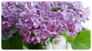 lilas cinq petales porte-bonheur chance russie